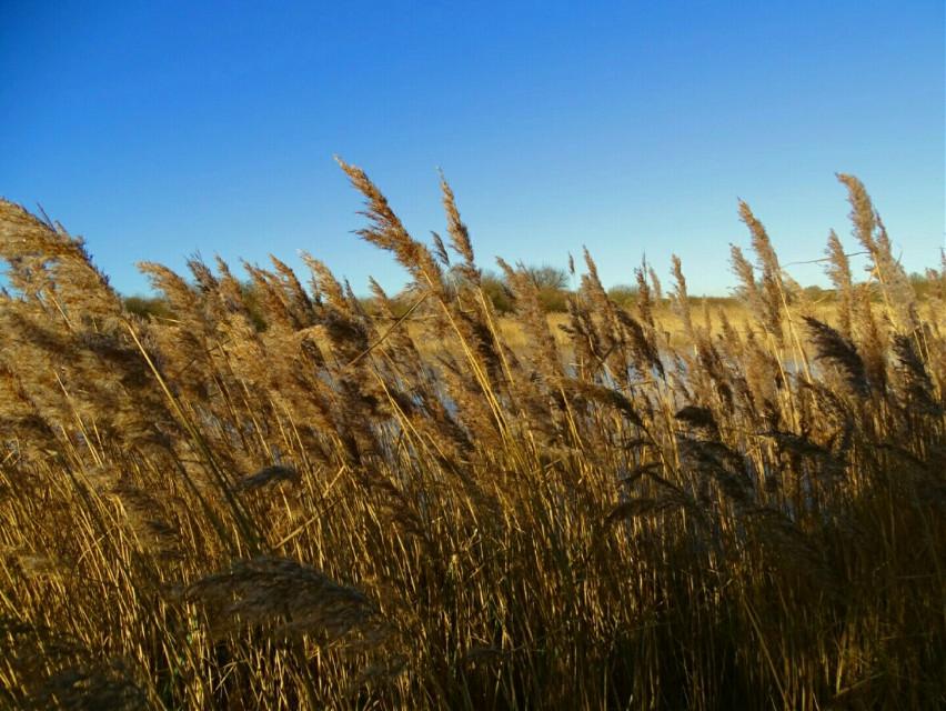 #reeds  #bluesky  #wind  #coldday  #FreeToEdit