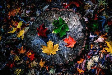 freetoedit art canada colorful leaves