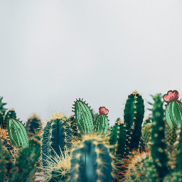 FreeToEdit cactus flower nature ouch pokey green