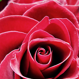 pcred red rose beutyfull
