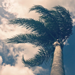 windyday cloudyday palmtree skyandcloudsbackground naturephotography