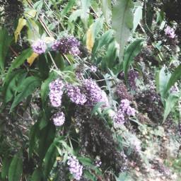 freetoedit phtography lavendar